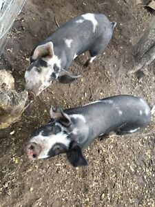 2 live pigs for sale