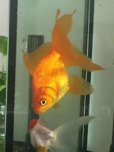 Two big golden fish 30 each