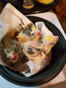 Gorgeous baby cockatiels