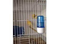 Fife canaries for sale 15 pounds each