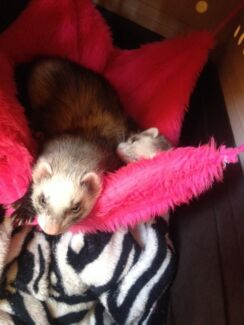 Female ferrets x2 desexed  Midland Swan Area Preview