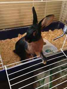 Tan rabbit for rehoming