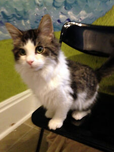 Rescued farm kitten - ALREADY NEUTERED, VACC & MUCH MORE!