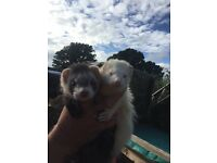 Young ferrets and polecats for sale