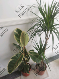 2 indoor house plants dracaena dragon and ficus elastica