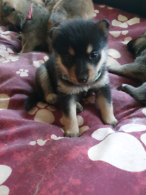 F2 POMSKY puppies for sale