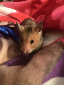 Hamster - Free to a Good Home