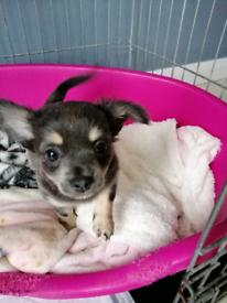 Blue Chihuahua Pup (female)
