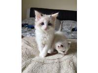 "Ragdoll kittens ""only 2 left now"""
