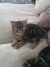 Kittens 550