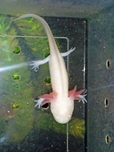 For sale – young albino and golden albino axolotls
