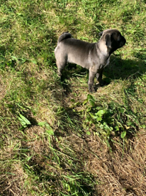 Platinum french bulldog x pug puppy for sale