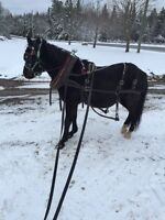 12 year old pony gelding