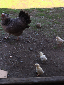Flock of Chickens for Sale