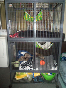 Two Ferrets + Ferret Nation Cage + Accessories