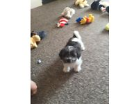 Shih tzu cross male puppy