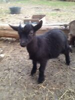 Sold pending  12 week old intact Nigerian miniature males goats