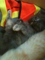 Munchkin kittens!