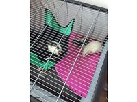 Rats and cage for sale