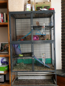 Two very friendly degus with cage