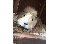 Female Guinea pig for sale!