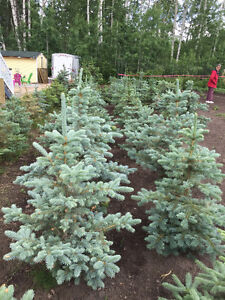 4 to 5 Foot Blue Spruce at 10.00 per ft Edmonton Area image 2