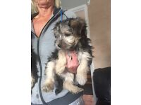 Morkie puppies 9 weeks old now ready