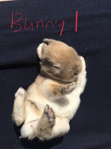 Netherlands dwarf bunnies