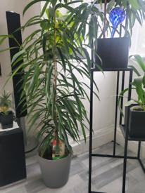 Large indoor plant Ficus Alii