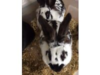 2 Lion Head Rabbits for sale