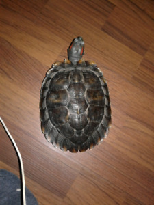 Free  male red ear slider