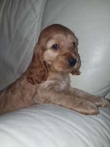 English Cocker Spaniel Puppy **Purebred** ONLY 1 LEFT