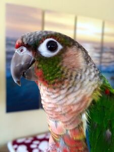 Yellowside Green Cheek Conure (Parrot, Red Factored)