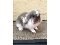 Lionlop rabbit