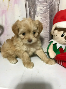 Cute Yorkiepoo (Yorkie X Poodle) puppies for sale