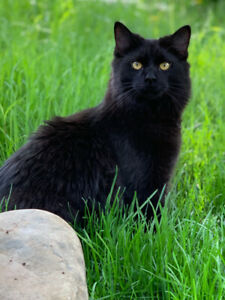 Missing Black Maine Coon Cat in Thornhill