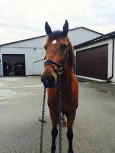 Lovely Clyde x Thoroughbred for Part-Lease in London London Ontario image 4