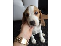 Beagle 3months old for sale!