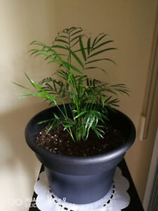 Beautiful Palm Plant for Sale