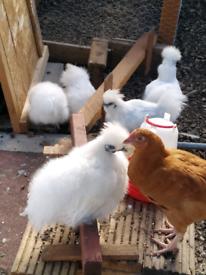 Silky Hen / Chickens °Showbird Condition°