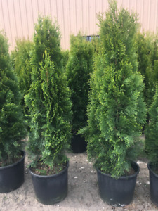 Extremely  fat new arrival BC Emerald Cedar delivery&planting