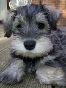 Looking to Adopt a Miniature Schnauzer puppy!