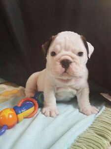 English Bulldog Kingbull Gatineau Ottawa / Gatineau Area image 1