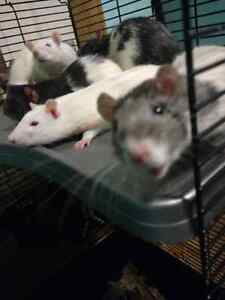 Fancy pet Rat's free to a good home! Cambridge Kitchener Area image 5