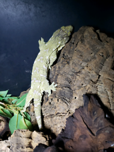 Bonded breeding pair of leachianus geckos