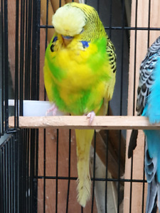 english budgies | Birds | Gumtree Australia Free Local Classifieds