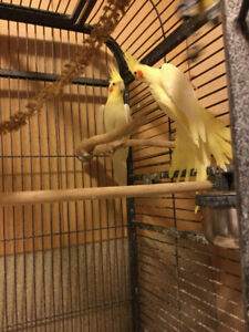 One Pair Cockatiel For Sale