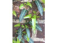 Ivy (Persian)