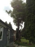 Insured Tree Removal & Pruning 40' OR LESS / ANY LOCATION