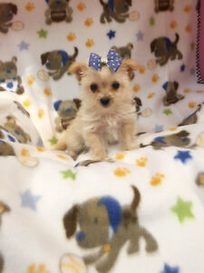 Micro-Teacup Doll Face Morkie puppy~only one boy